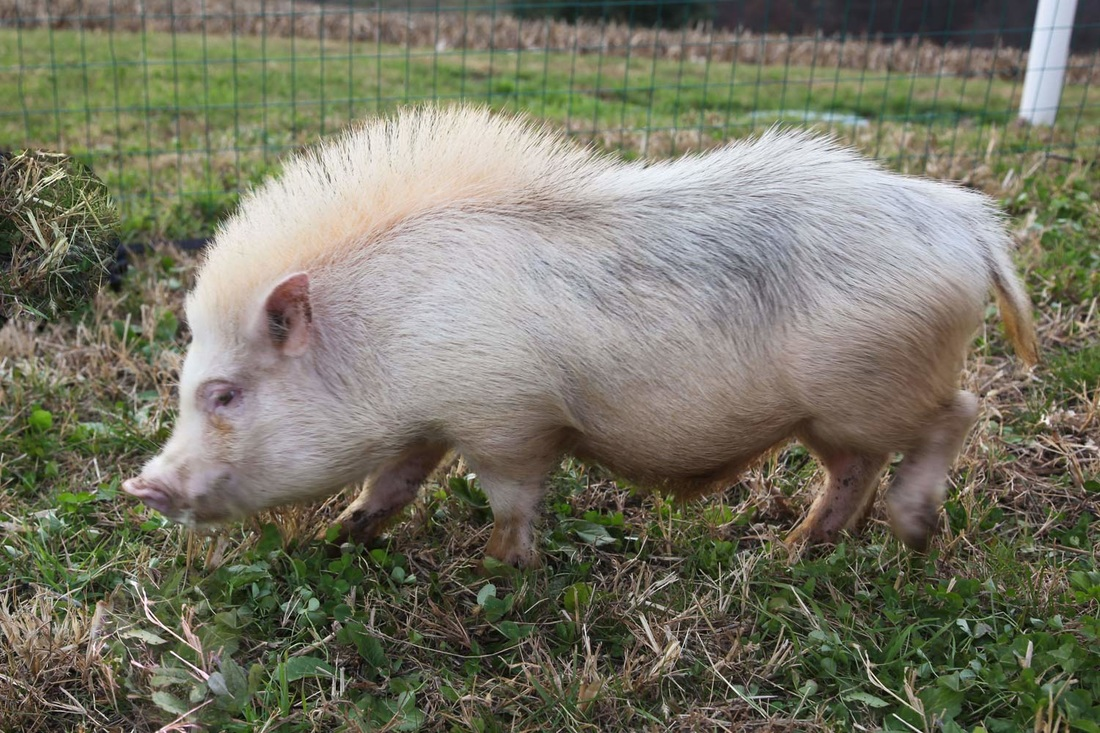 Teacup Pig Facts  Best Friends Animal Society
